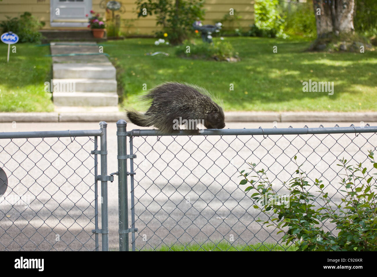 Porcupine climbing a fence in a downtown Anchorage neighborhood, Southcentral Alaska, Summer Stock Photo