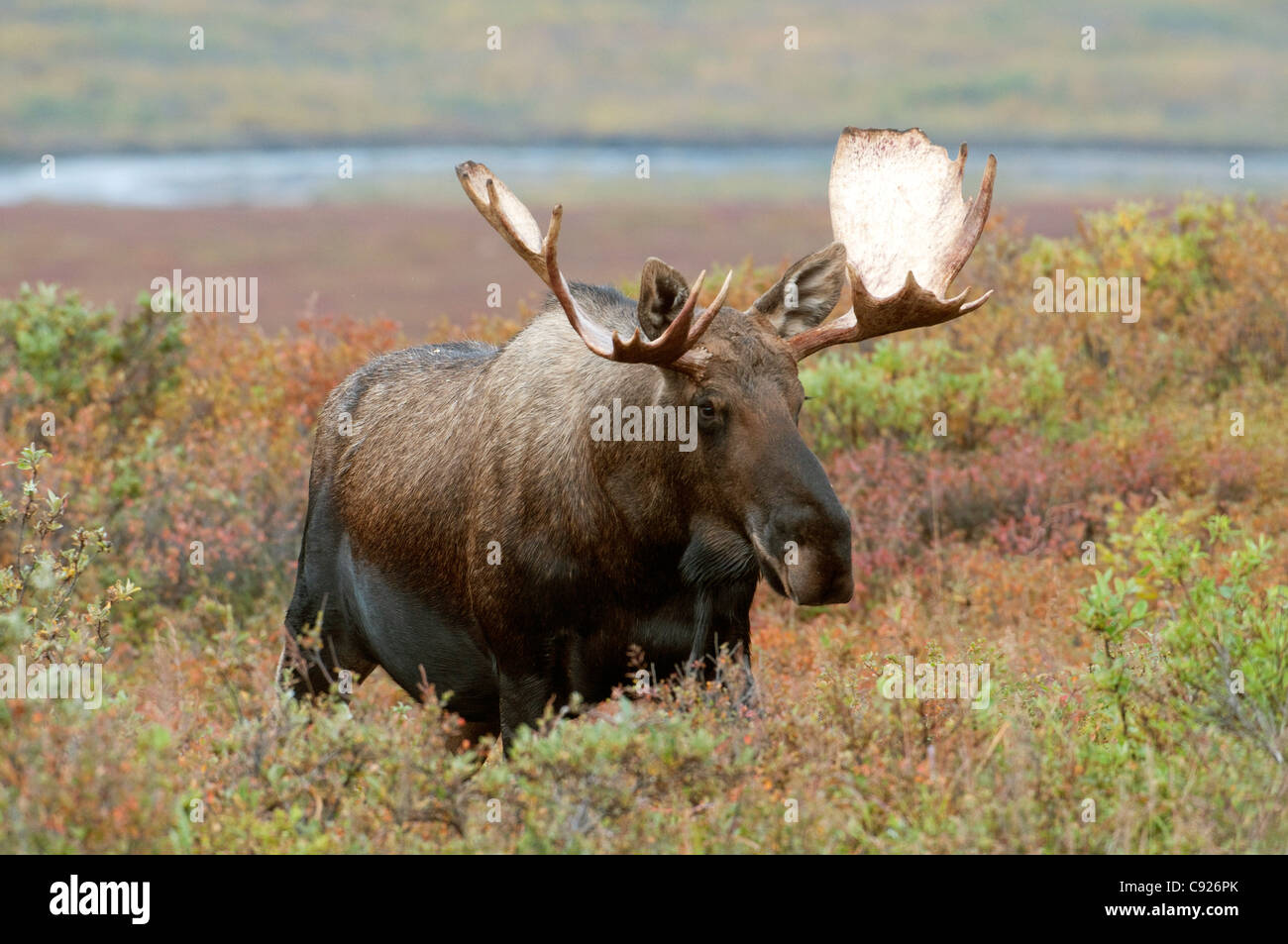Young adult bull moose emerges from Fall foliage with McKinley River in background, Denali National Park, Alaska - Stock Image