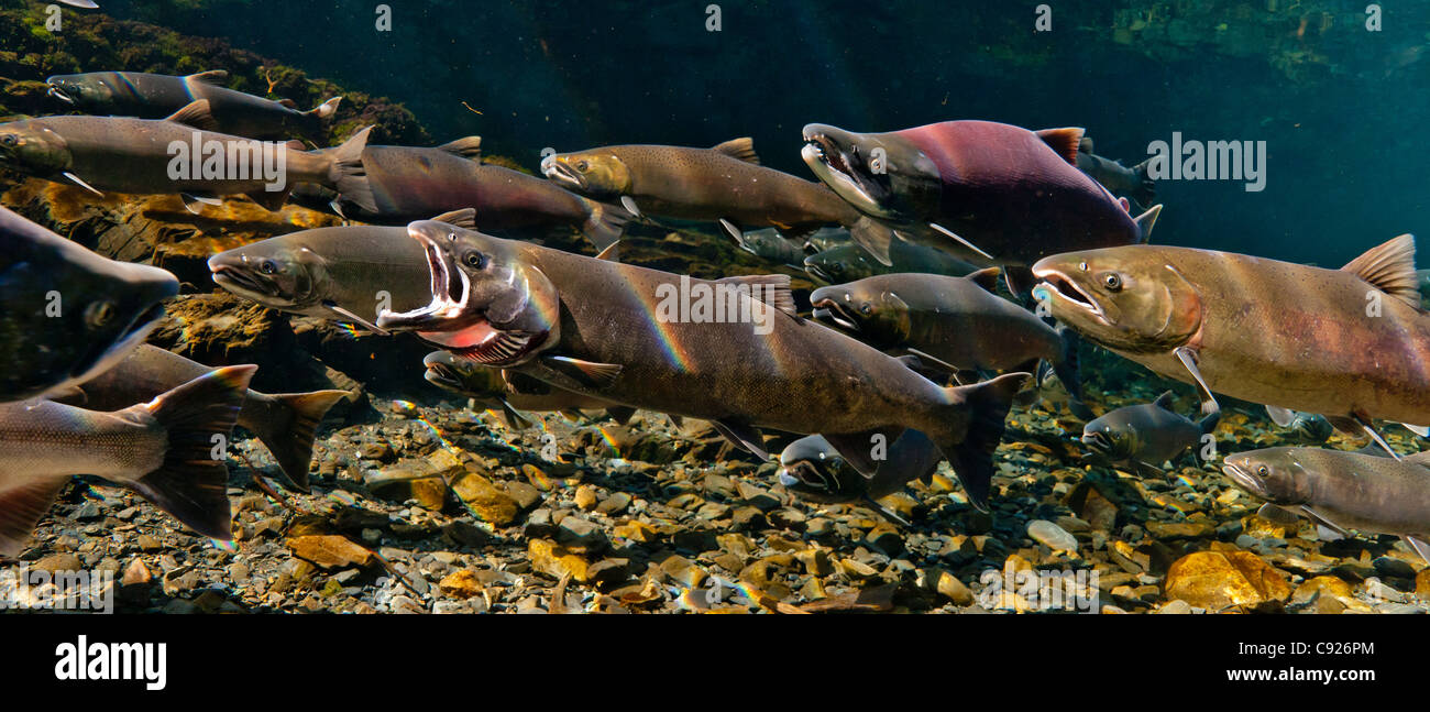 Underwater view of a gaping Coho salmon among others and a Sockeye salmon in Hartney Creek, Copper River Delta, - Stock Image