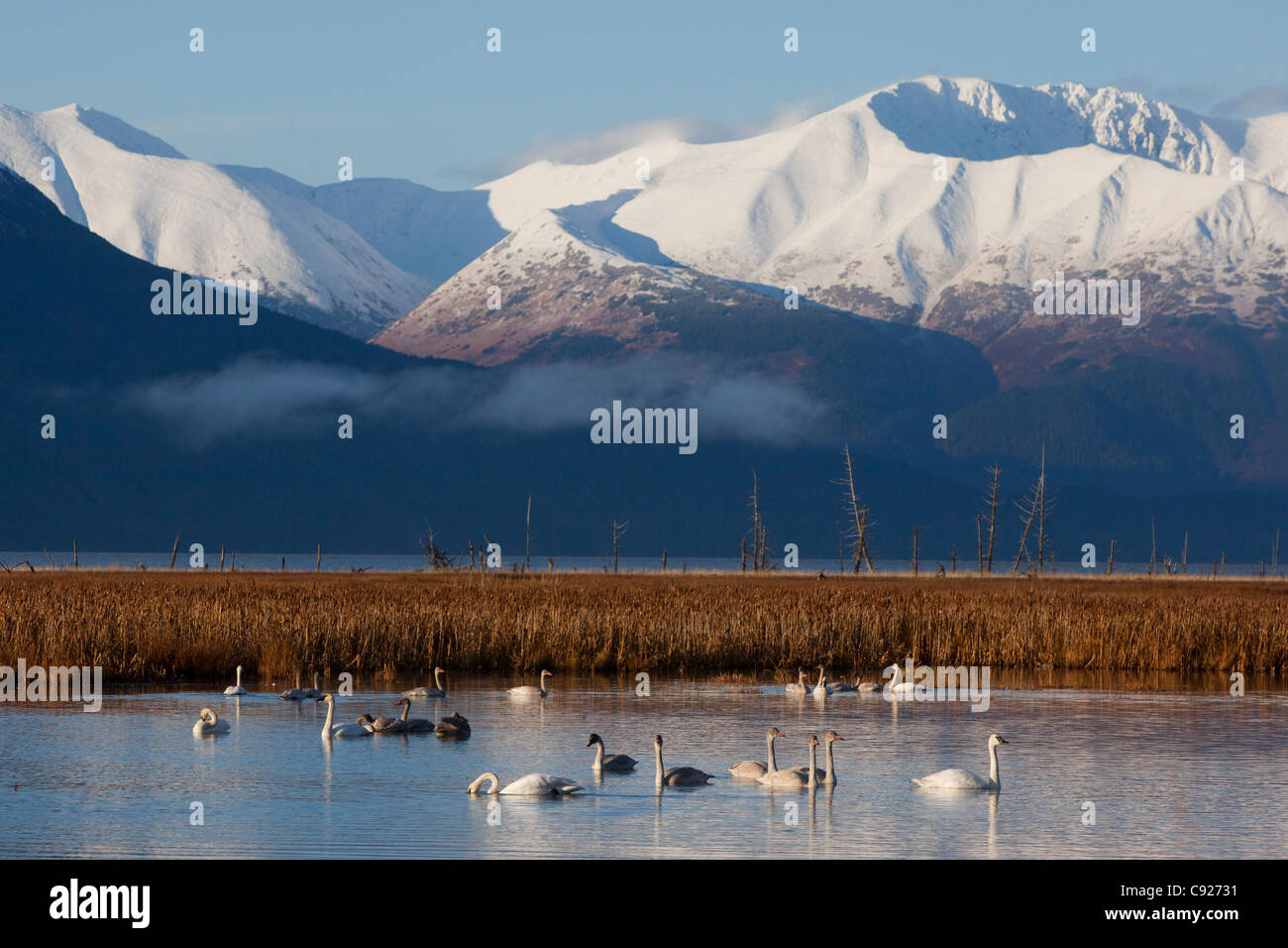 A grouping of Tundra and Trumpeter Swans feed in a pond near Girdwood, Turnagain Arm, Alaska - Stock Image
