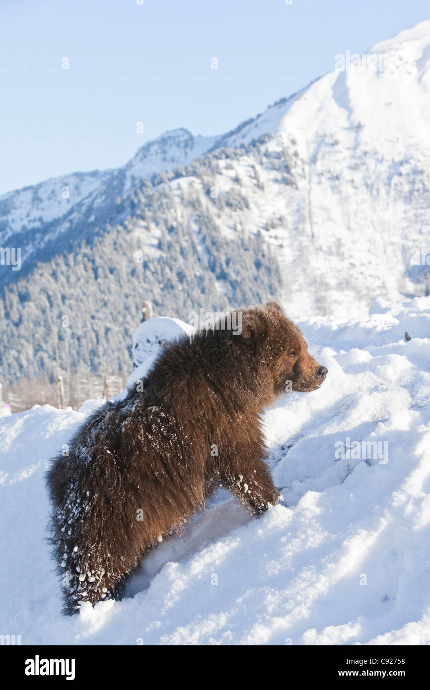 CAPTIVE: Kodiak Brown bear male cub stands on a snowy hill with a snowcovered Chugach Mountains in the background, - Stock Image