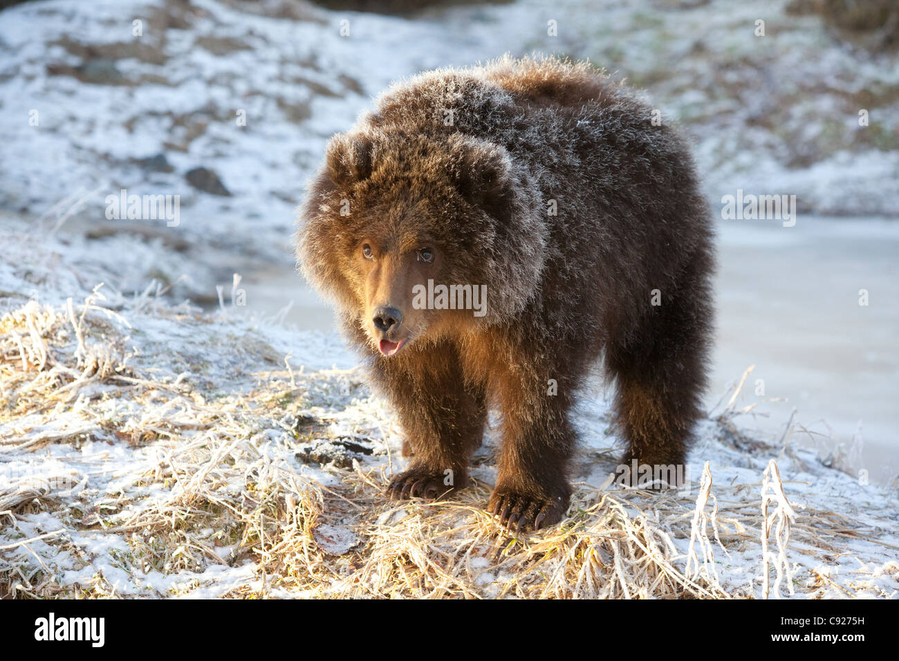 CAPTIVE: Kodiak Brown bear cub with frost covered fur standing on snowcovered ground,Alaska Wildlife Conservation - Stock Image