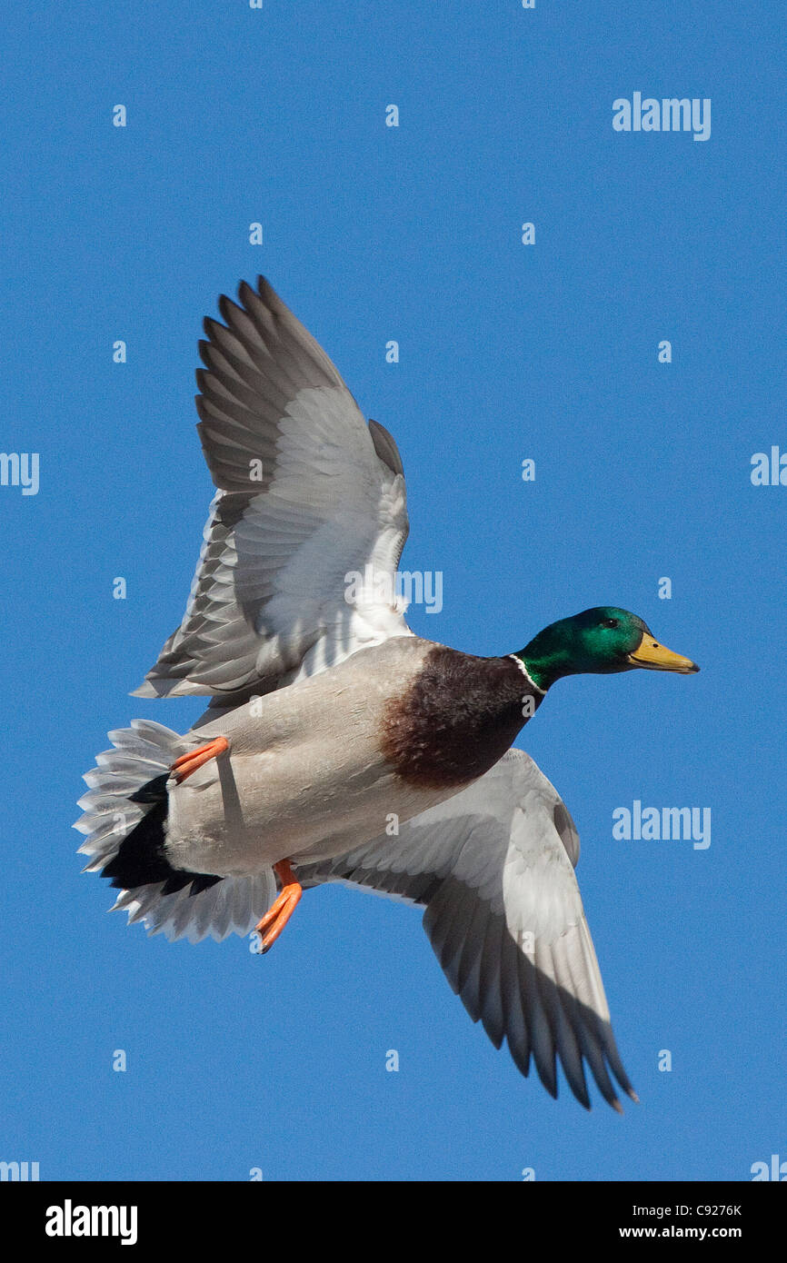 Mallard drake spreads its wings and prepares to land at a small pond in Anchorage, Southcentral Alaska, Spring - Stock Image
