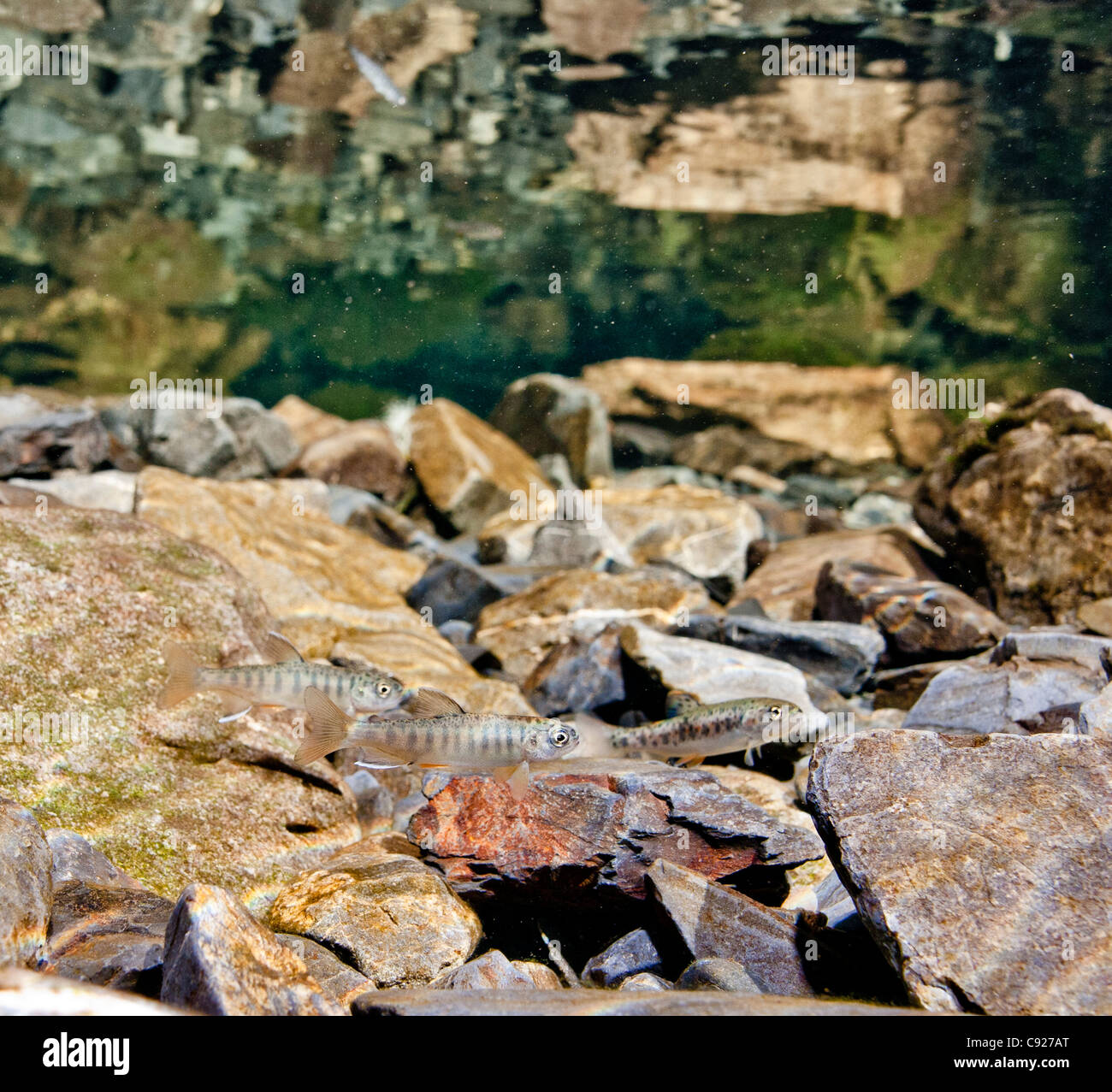 Underwater view of a Coho salmon fry rearing with a juvenile coastal Cutthroat trout in Eccles Creek, Alaska - Stock Image