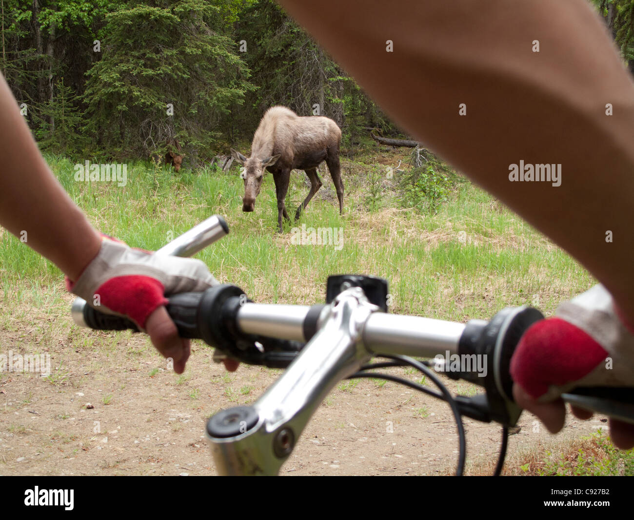 Female mountain bicyclist bikes near a cow and calf moose in Far North Bicentennial Park Anchorage, Southcentral - Stock Image