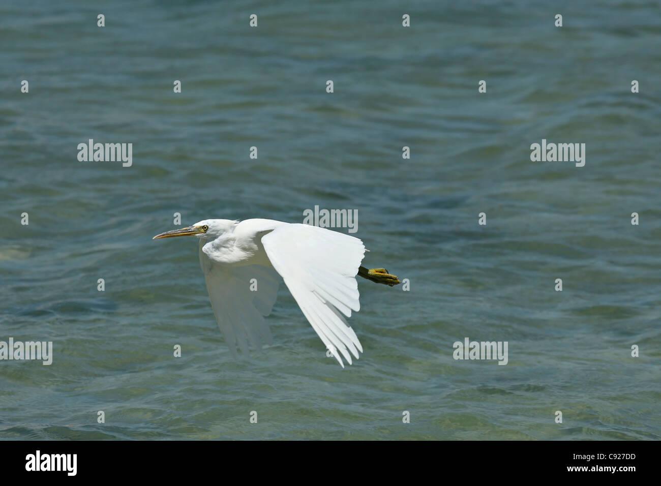 Flying Eastern Reef Egret ( Ardea sacra ) , North Western Australia - Stock Image