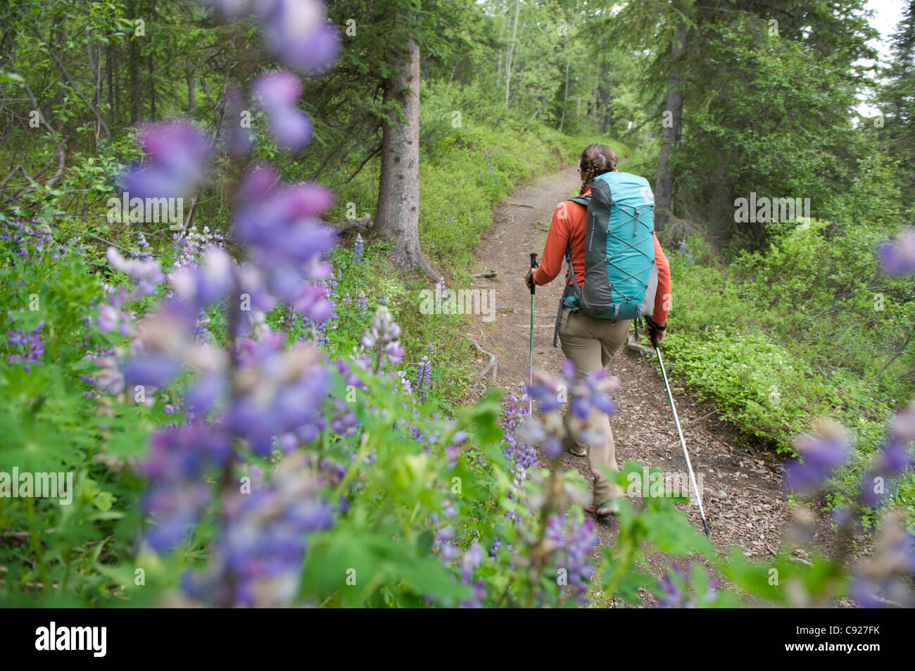 Woman hikes through Nootka lupine during a backpacking trip on Resurrection Pass Trail in the Chugach National Forest, Stock Photo