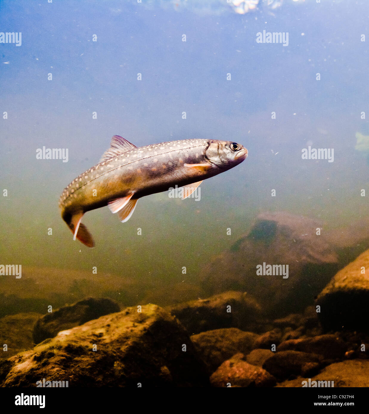 Underwater view of a Dolly Varden char in tannin stained water, Chugach National Forest, Copper River Delta, Alaska - Stock Image