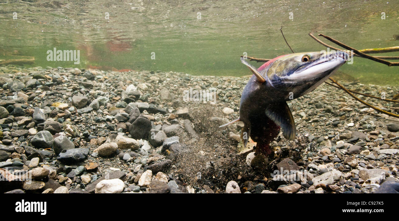 Underwater of a Sockeye salmon female excavating her redd while a male guards, Power Creek, Copper River Delta, - Stock Image
