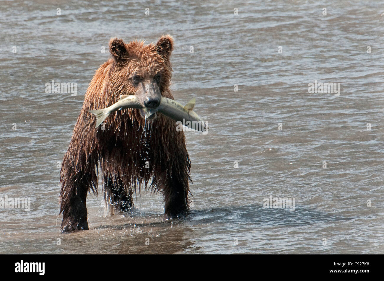 Brown Bear catches a fish  in Chinitna Bay, Lake Clark National Park, Southcentral Alaska, Summer - Stock Image