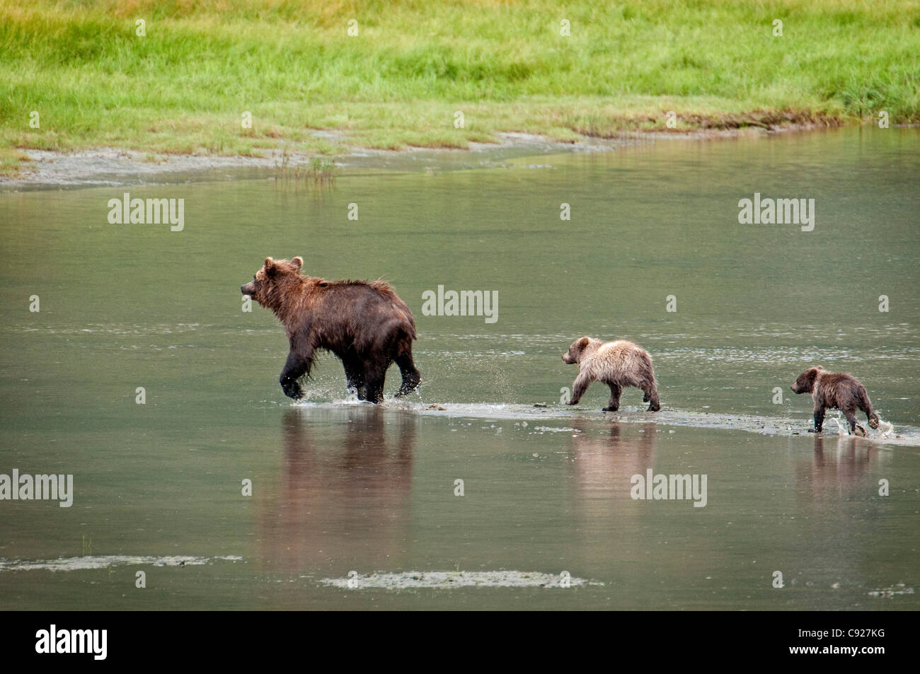 Brown Bear sow walks across a stream with her spring cubs in Chinitna Bay, Lake Clark National Park, Southcentral - Stock Image