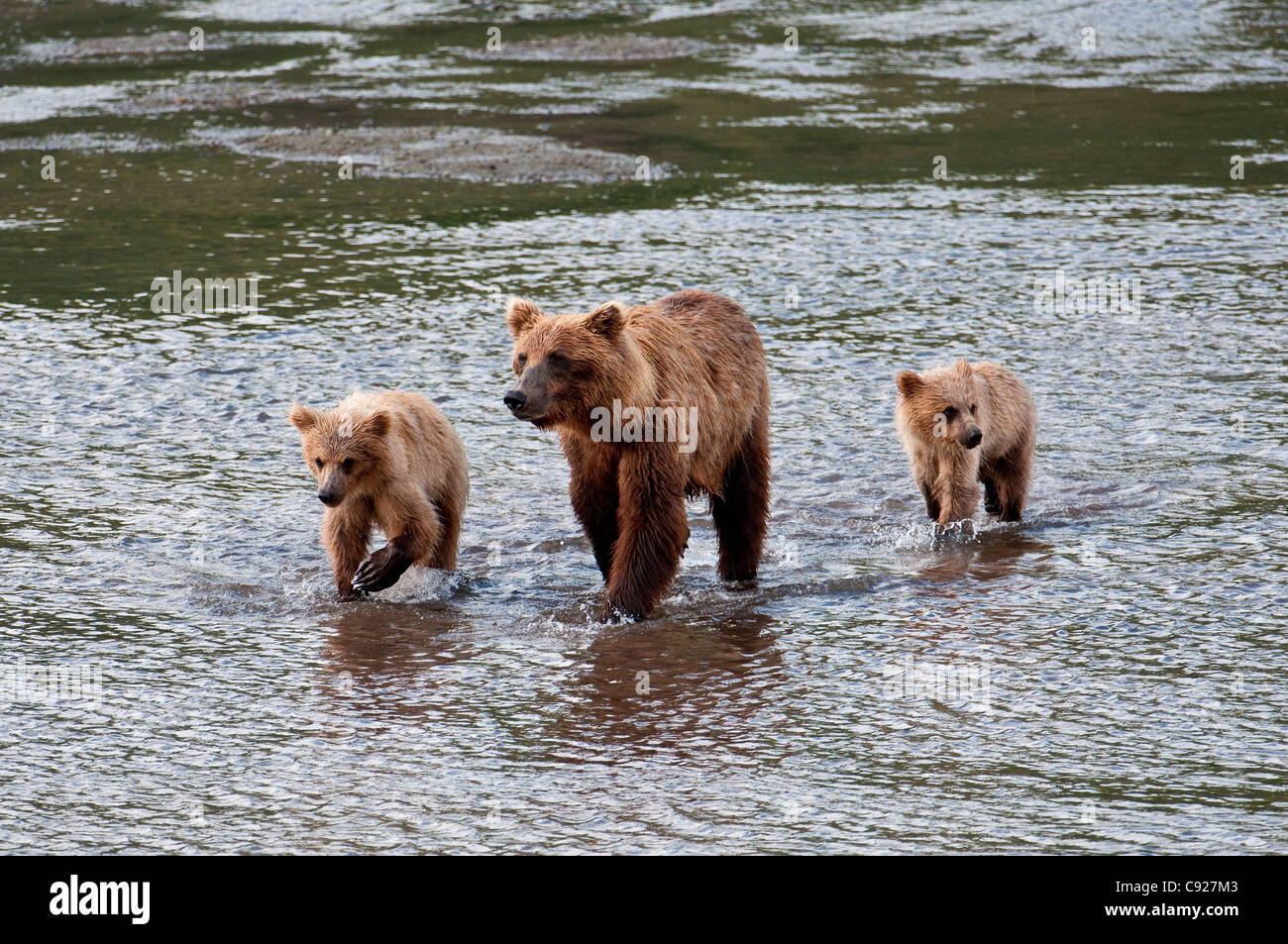 Brown Bear sow walks across a stream with her spring cubs in Chinitna Bay, Lake Clark National Park, Southcentral Stock Photo