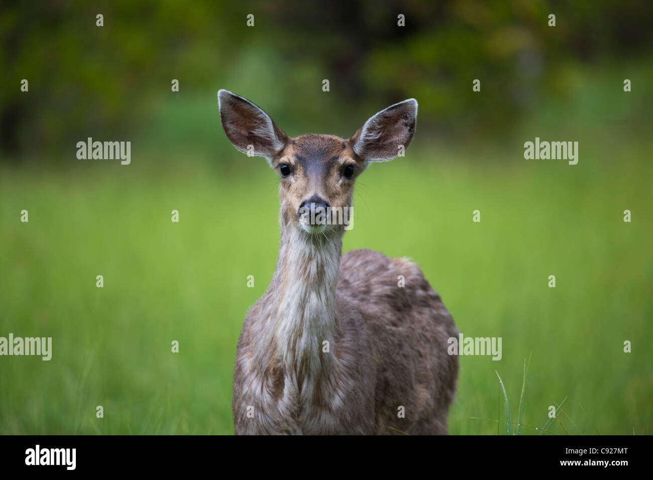 Close up of a Sitka Black tail deer on Prince of Wales Island, Tongass National Forest, Southeast Alaska, Summer - Stock Image
