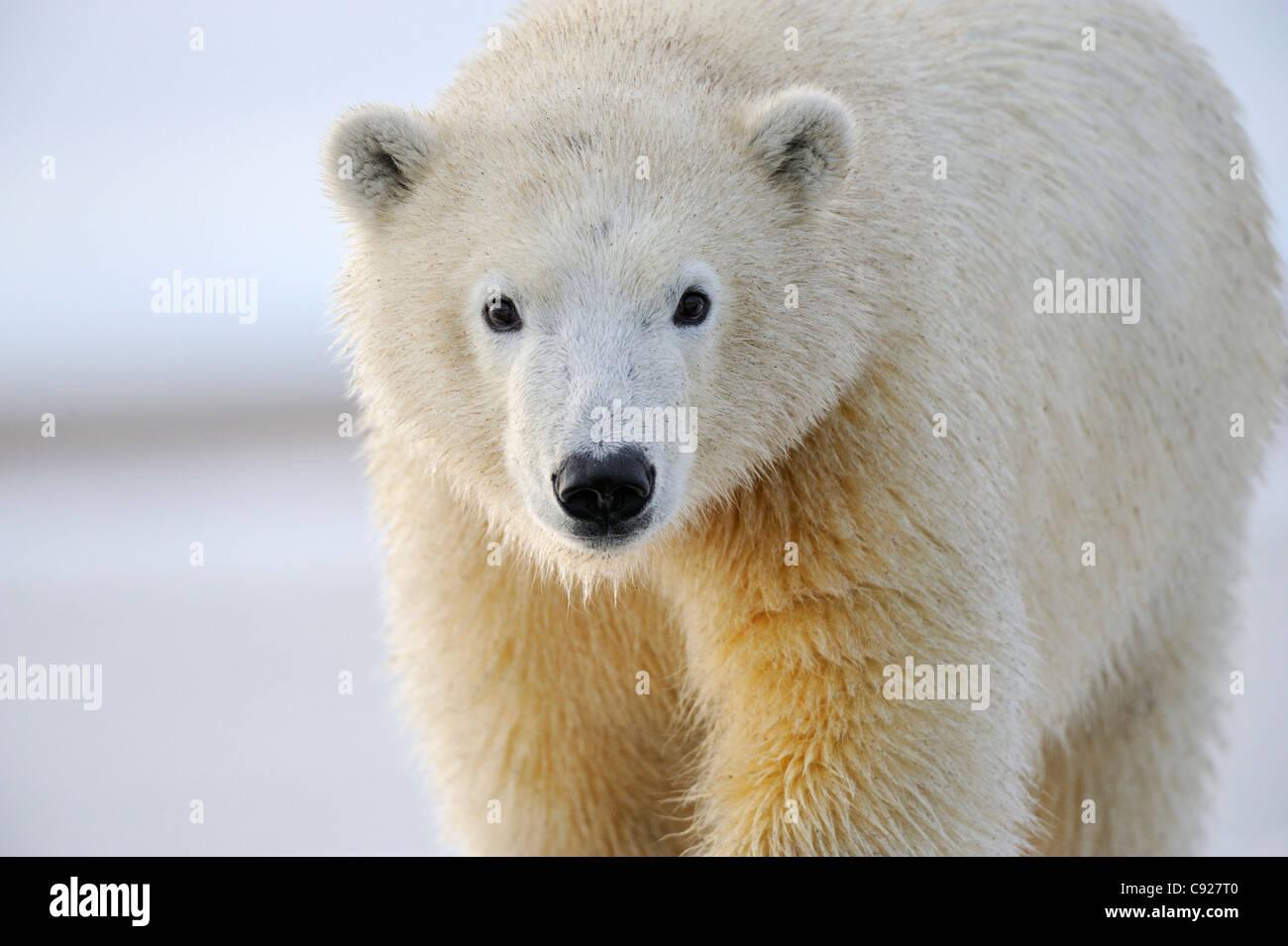 Portrait of a sub adult polar bear near Kaktovik on the northern edge of ANWR, Arctic Alaska - Stock Image