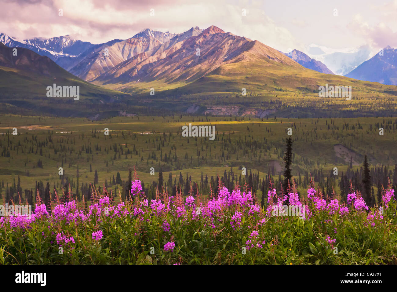 View of the Chugach Mountains with fireweed in the foreground along the Glenn Highway, Southcentral Alaska, Summer, - Stock Image