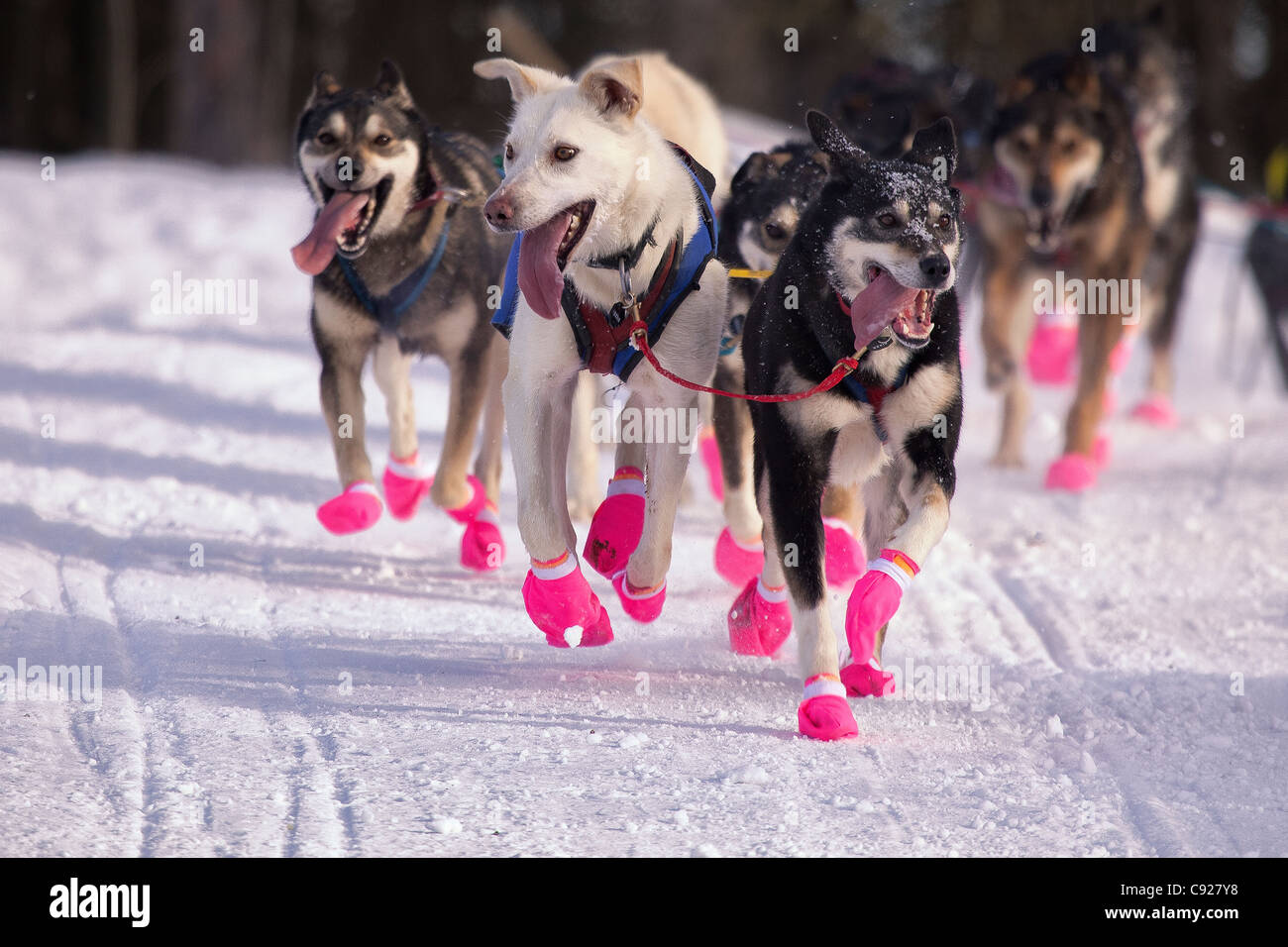 Newton Marshall's lead dogs running during the 2011 Iditarod Ceremonial Start in Anchorage, Southcentral Alaska, - Stock Image