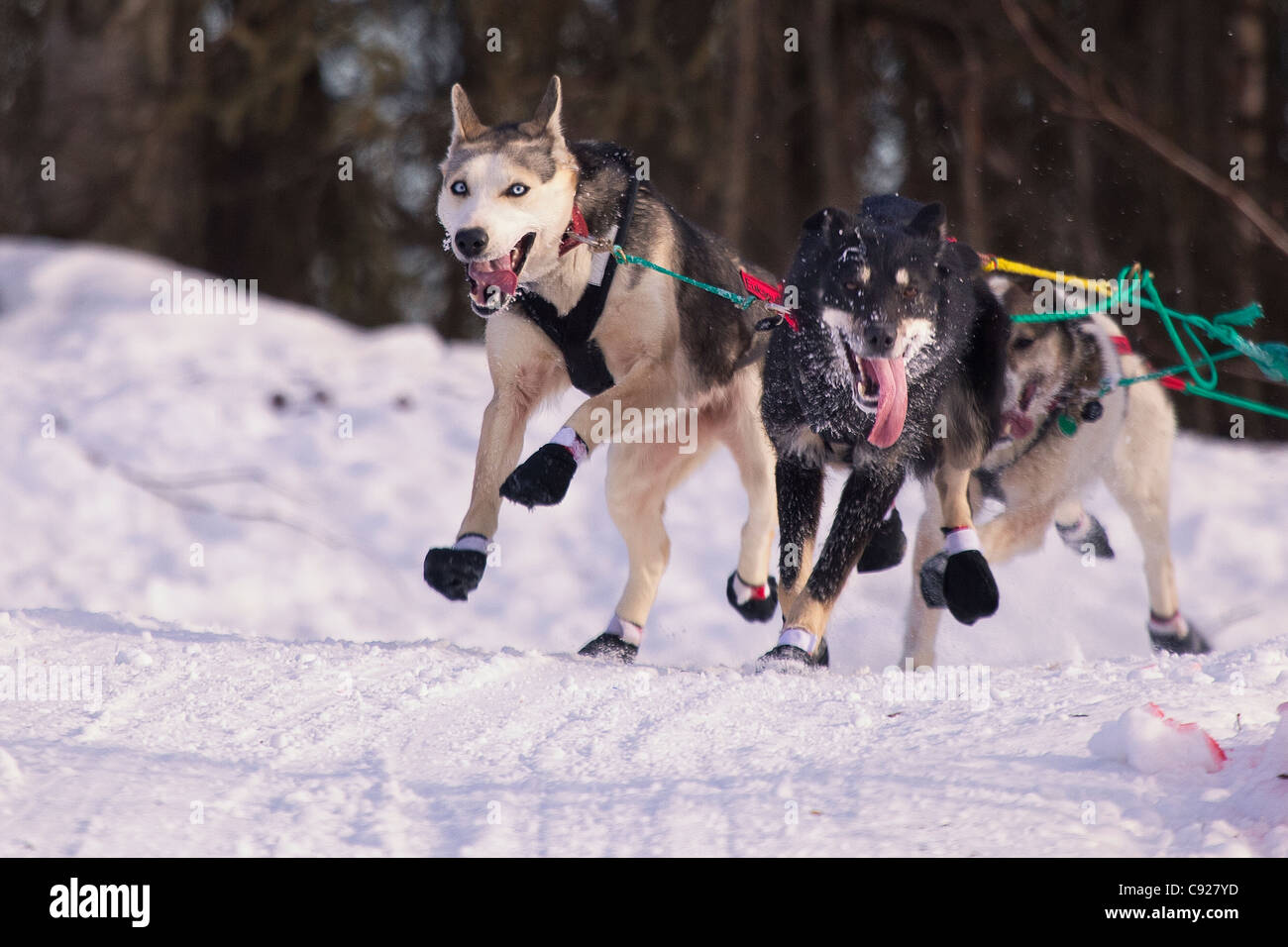 Zoya DeNure's lead dogs running during the 2011 Iditarod Ceremonial Start in Anchorage, Southcentral Alaska, - Stock Image