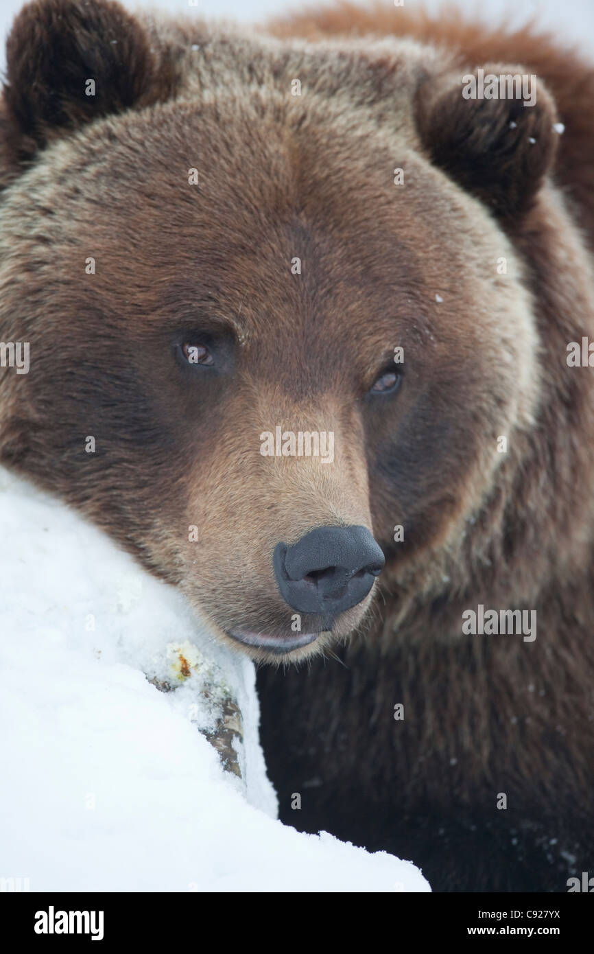 CAPTIVE: Adult Grizzly sow rests her head on a snowcovered log, Portage Valley, Alaska - Stock Image