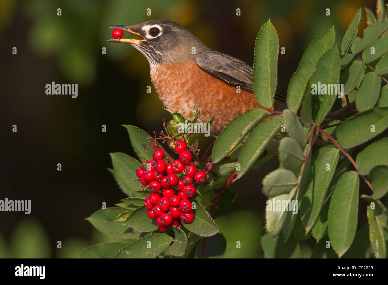 American Robin perched on branch eating a Mountain Ash berry, Cordova, Southcentral Alaska, Autumn - Stock Image