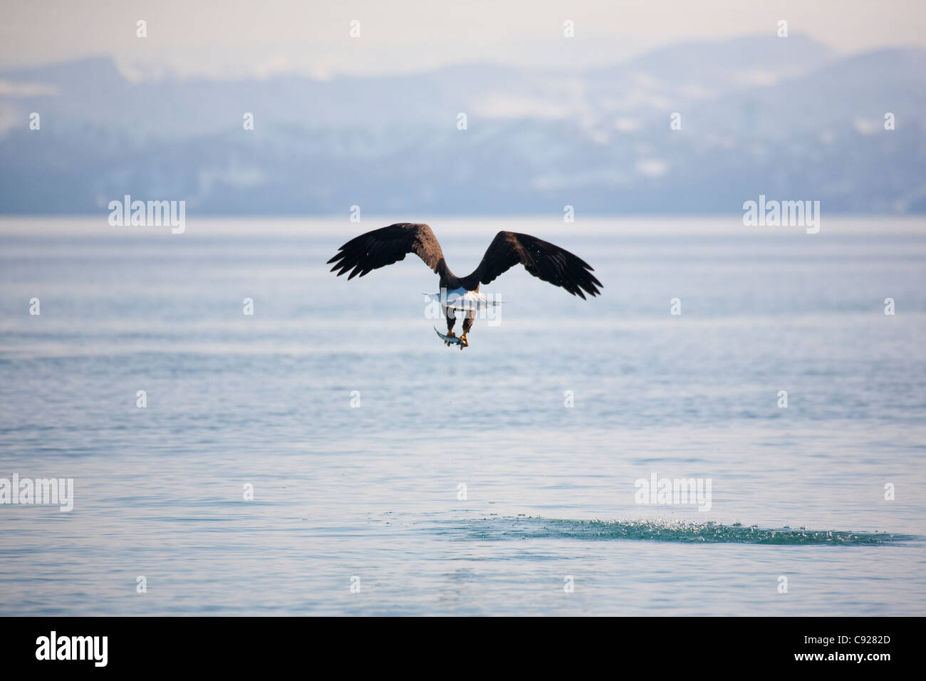 Bald Eagle flying away over the ocean with herring in its talons, Prince William Sound, Southcentral Alaska, Spring - Stock Image