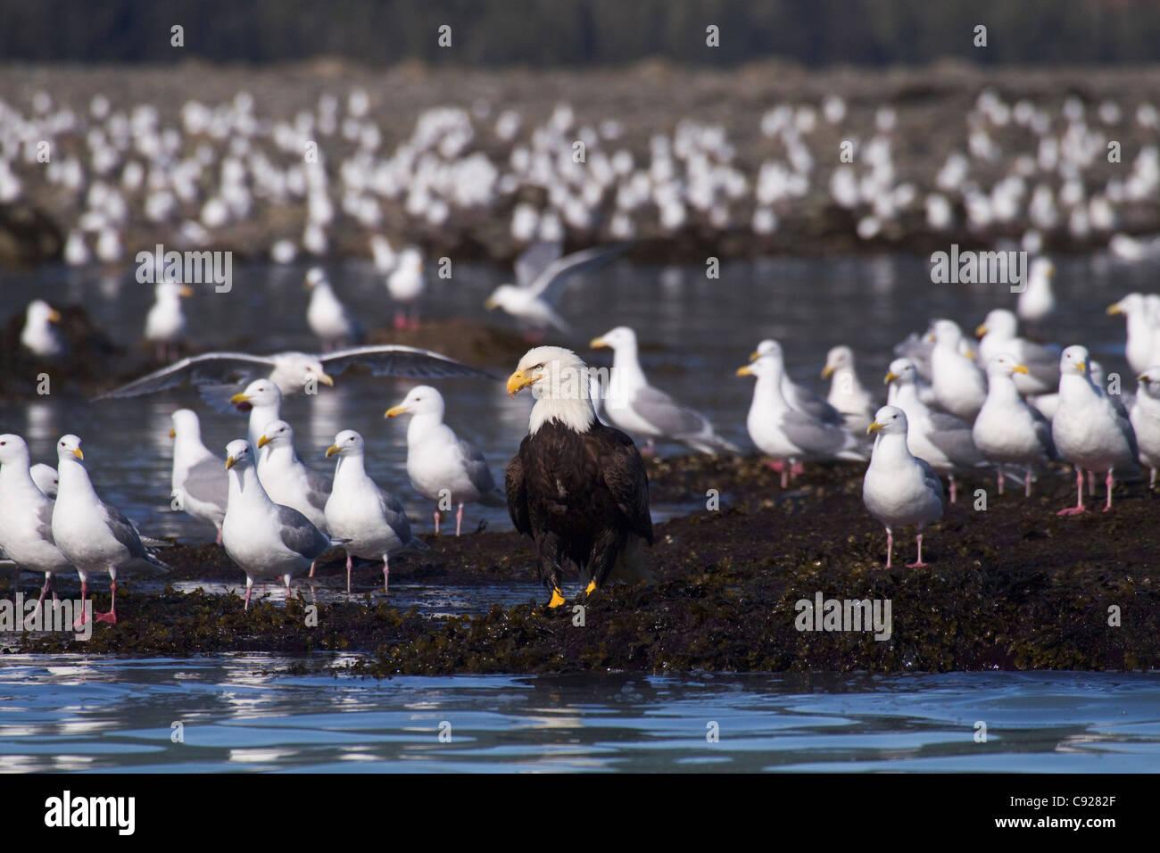 Bald Eagle sits amongst hundreds of Glaucous-winged gulls on the tidal flats waiting to catch herring, Alaska - Stock Image