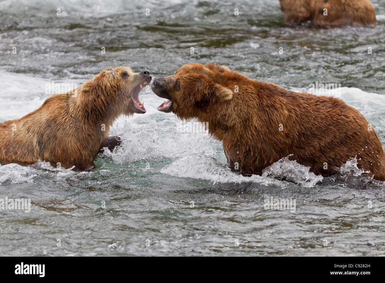 Two Brown Bear males fight in the water near Brooks Falls, Brooks Camp, Katmai National Park, Southwest, Alaska, - Stock Image
