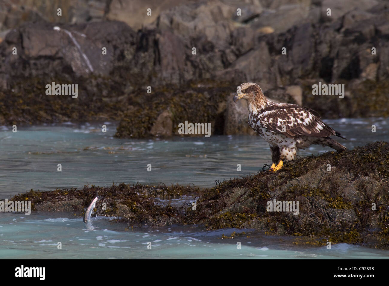 Juvenile Bald Eagle sits on rocky shoreline looking at herring jumping just out of reach during herring spawning - Stock Image