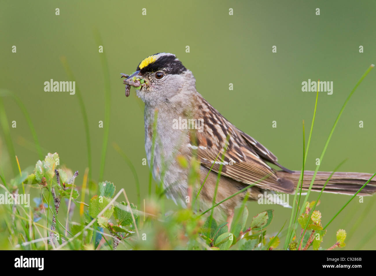 Close up of a Golden-crowned Sparrow with its bill full of worms to feed young, Arctic Valley, Chugach State Park, - Stock Image