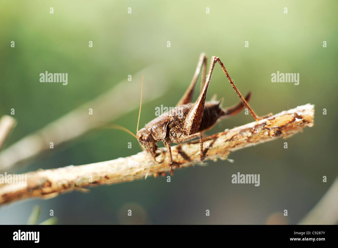 Bush cricket (Katydid) sitting on a twig - Stock Image