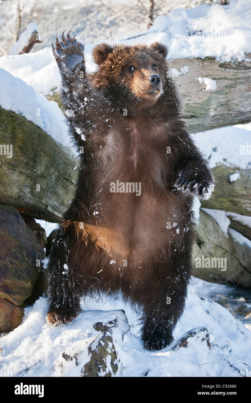 CAPTIVE: Kodiak Brown bear cub stands on hind feed and waves, Southcentral, Alaska, Winter - Stock Image