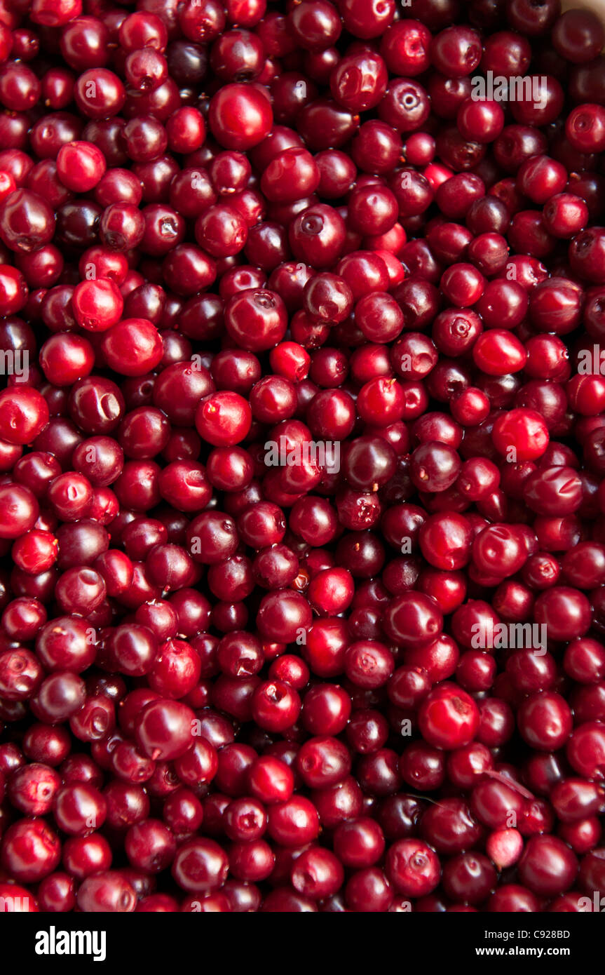 Close up of Low Bush Cranberries picked from nearby Wonder Lake in Denali National Park & Preserve, Interior - Stock Image