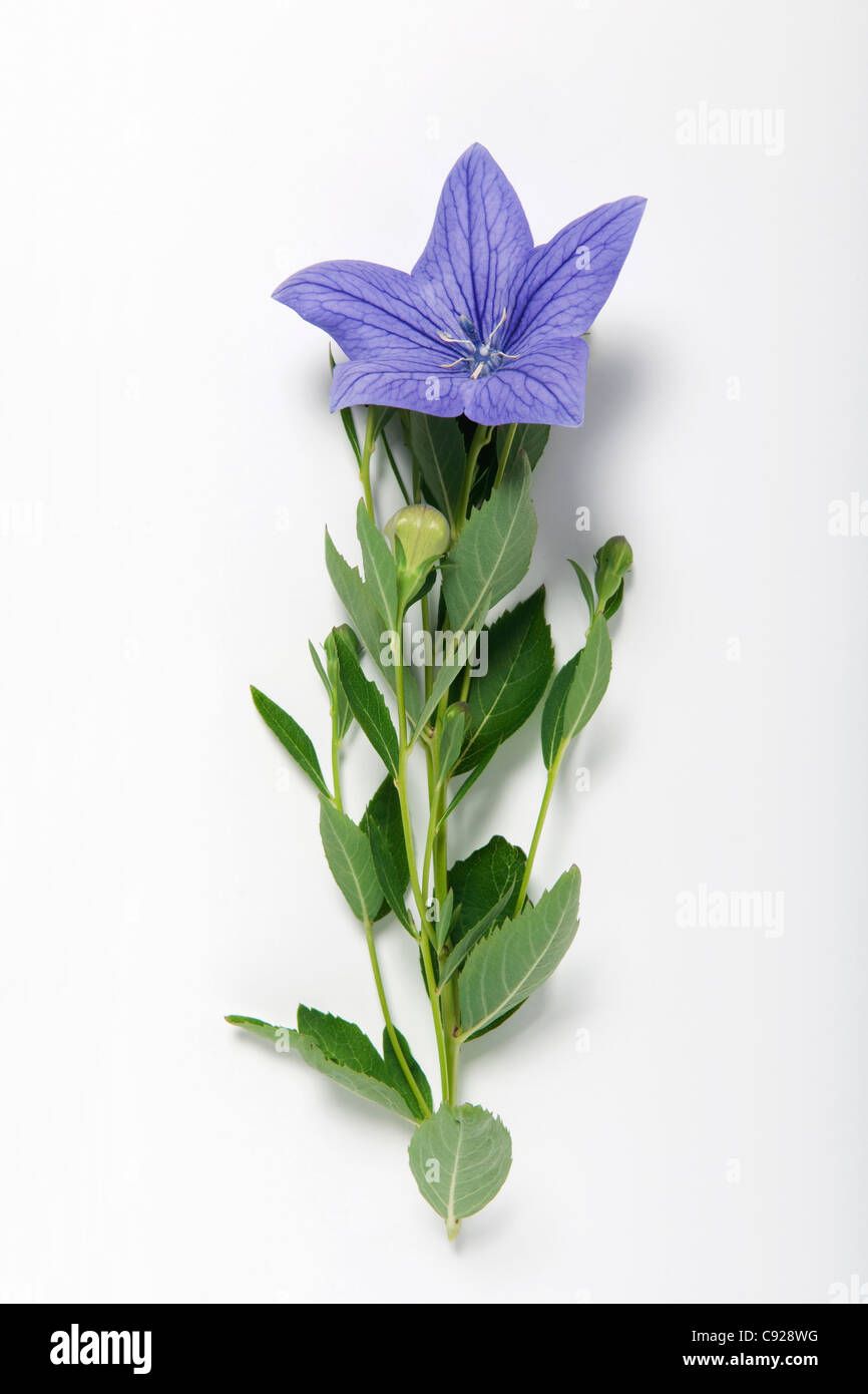 Chinese bellflower stock photos chinese bellflower stock images platycodon grandiflorus chinese bellflower stems with leaves and purple blue flowers stock mightylinksfo