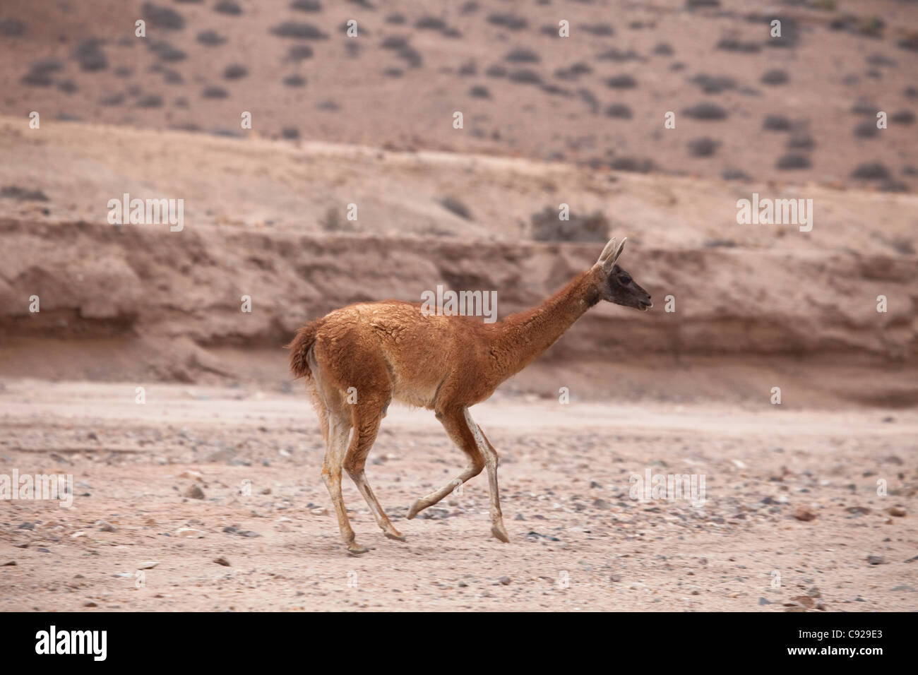Chile, Parque Nacional Pan de Azucar, guanaco - Stock Image