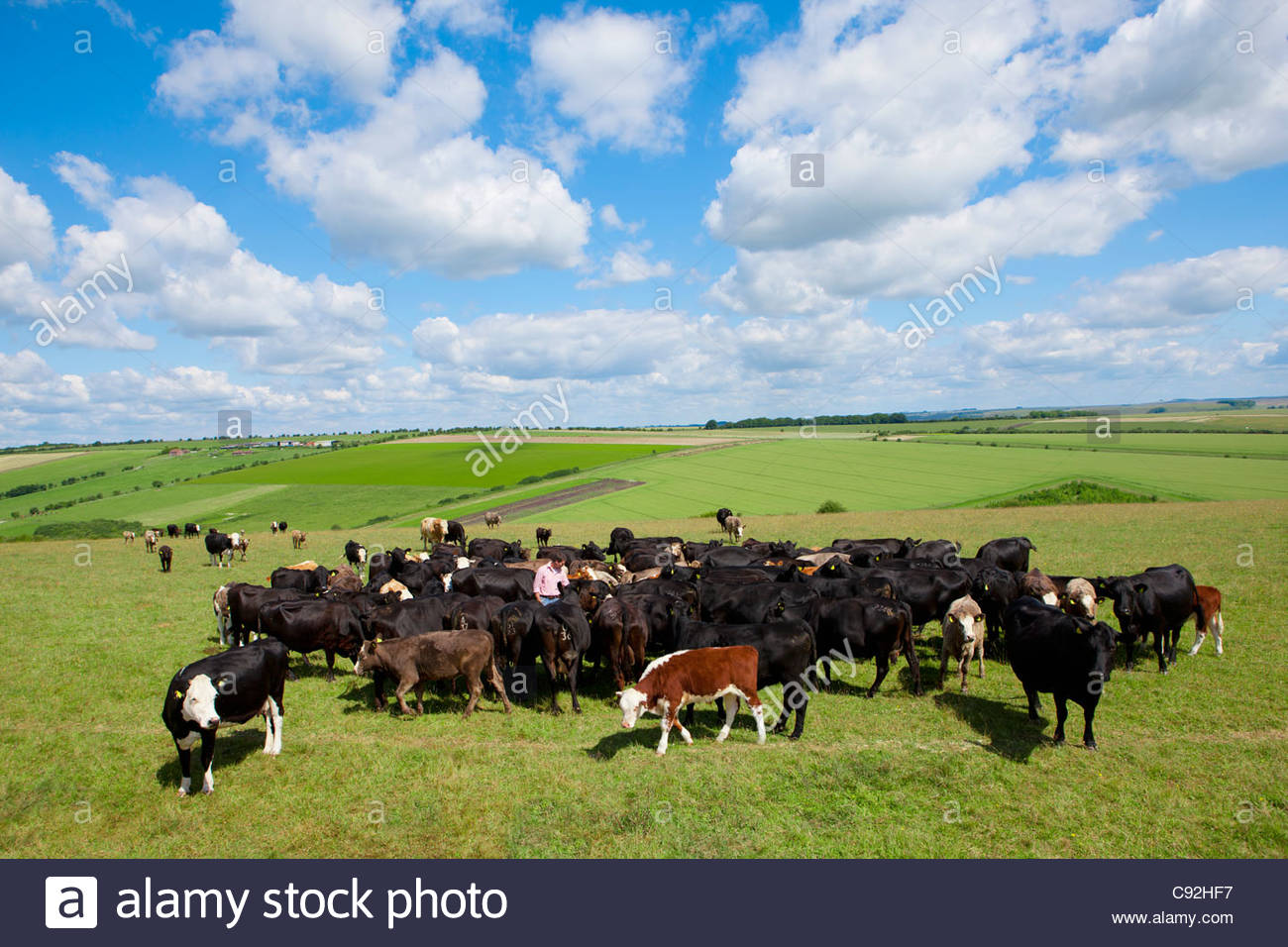 Farmer among cattle herd in sunny rural field - Stock Image
