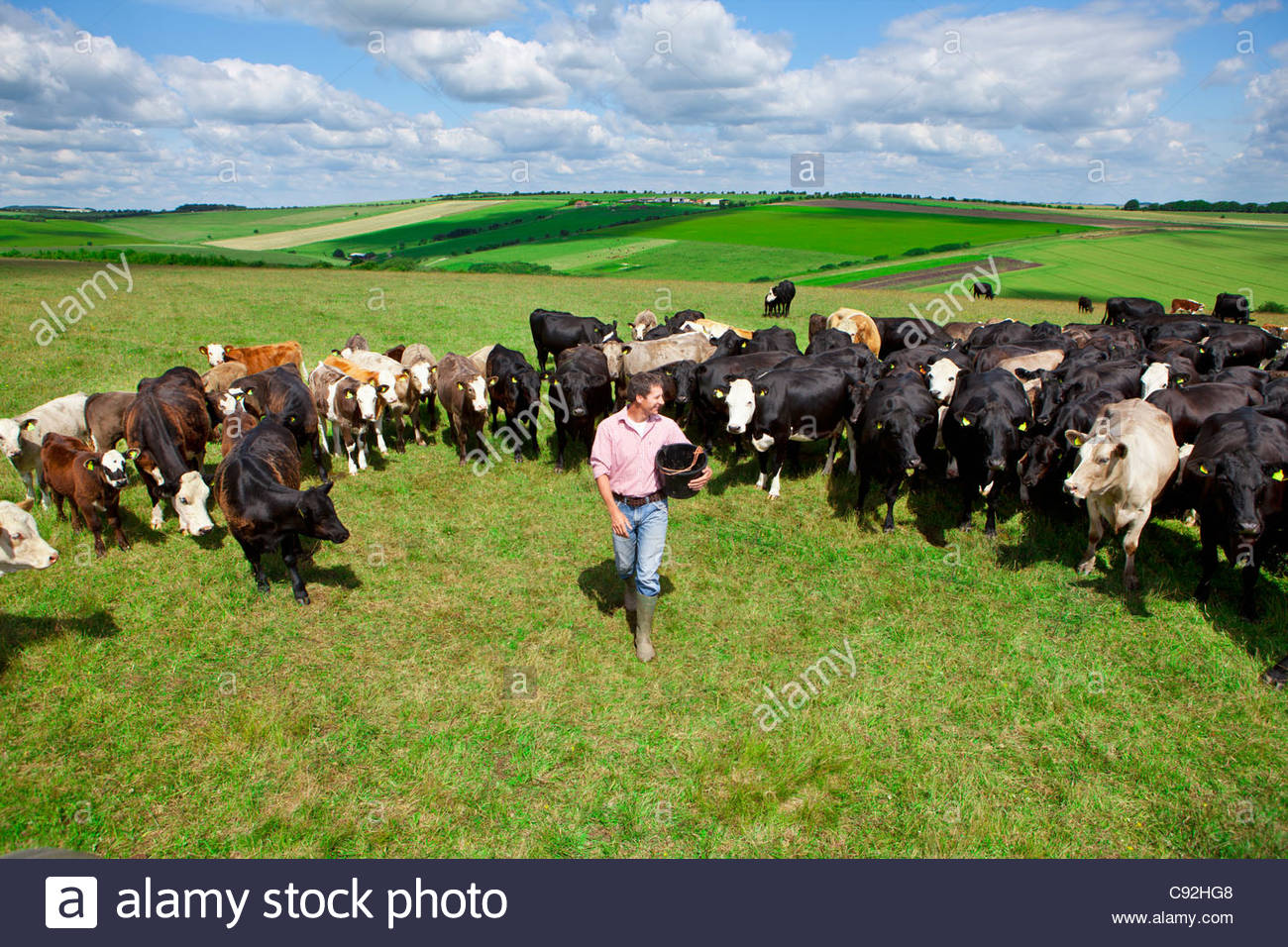 Farmer with bucket among cattle herd in sunny rural field - Stock Image