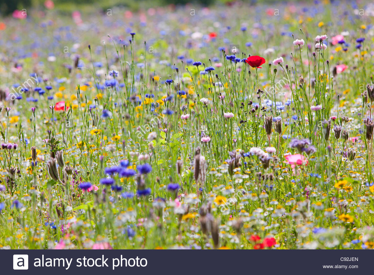 Close up of vibrant wildflowers in sunny field - Stock Image