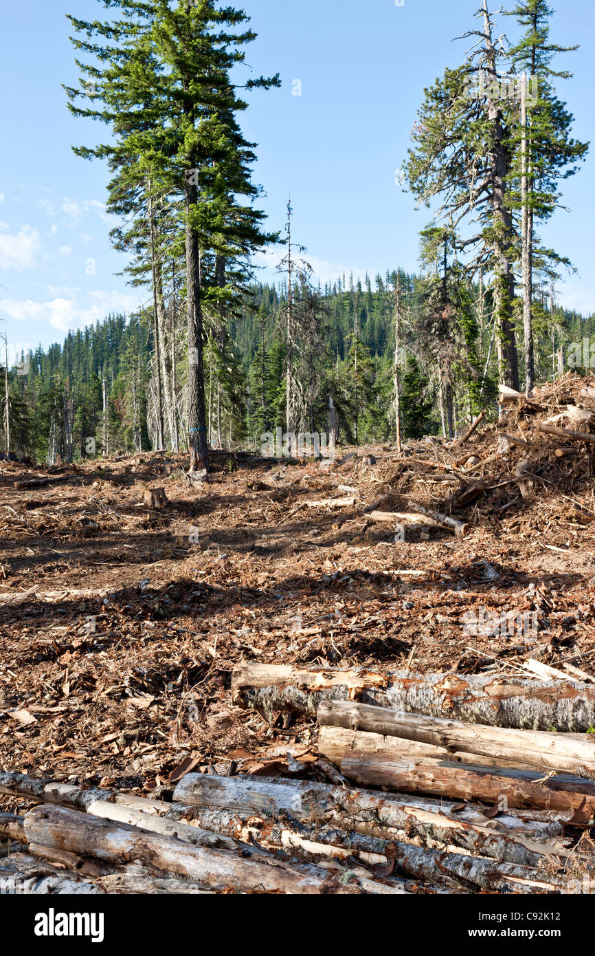 Forest, logging site 'White Fir',  Ponderosa Pine & Douglas Fir. - Stock Image