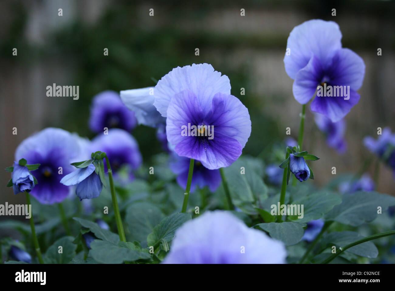 Viola Blue bedding plant - Stock Image