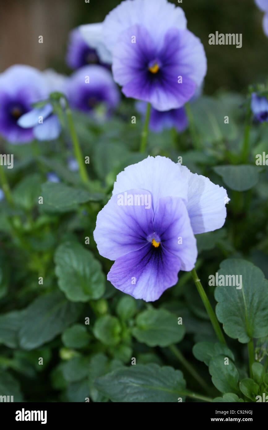 Single colour light blue Viola bedding plant - Stock Image