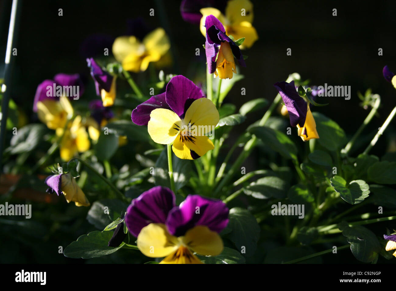 Double colour Viola purple and yellow - Stock Image