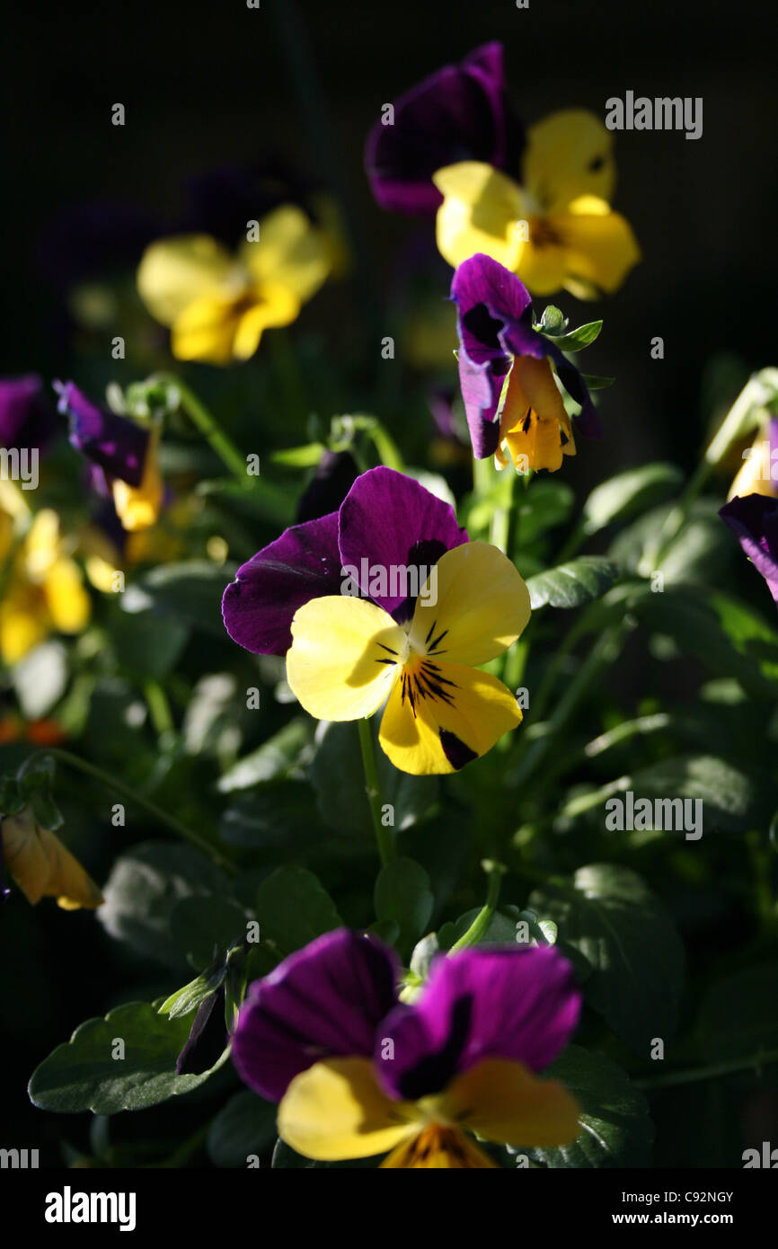 Double colour Viola Purple and yellow in sunshine - Stock Image