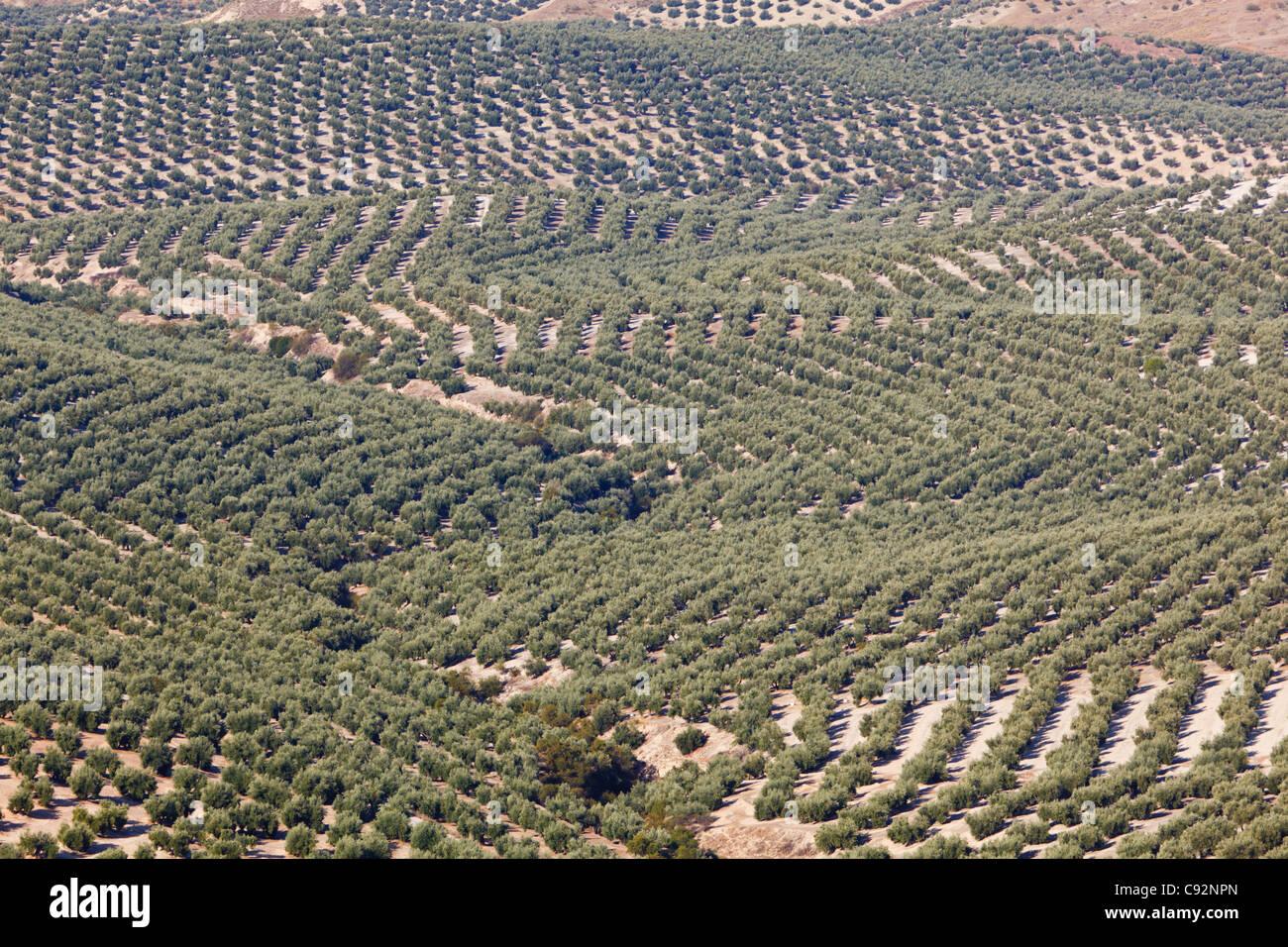 Olive groves near Mancha Real, Jaen Province, Spain. Stock Photo