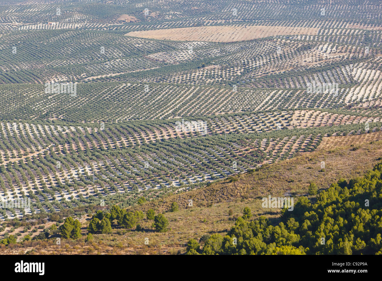 Olive groves near Mancha Real, Jaen Province, Spain. Stock Photo