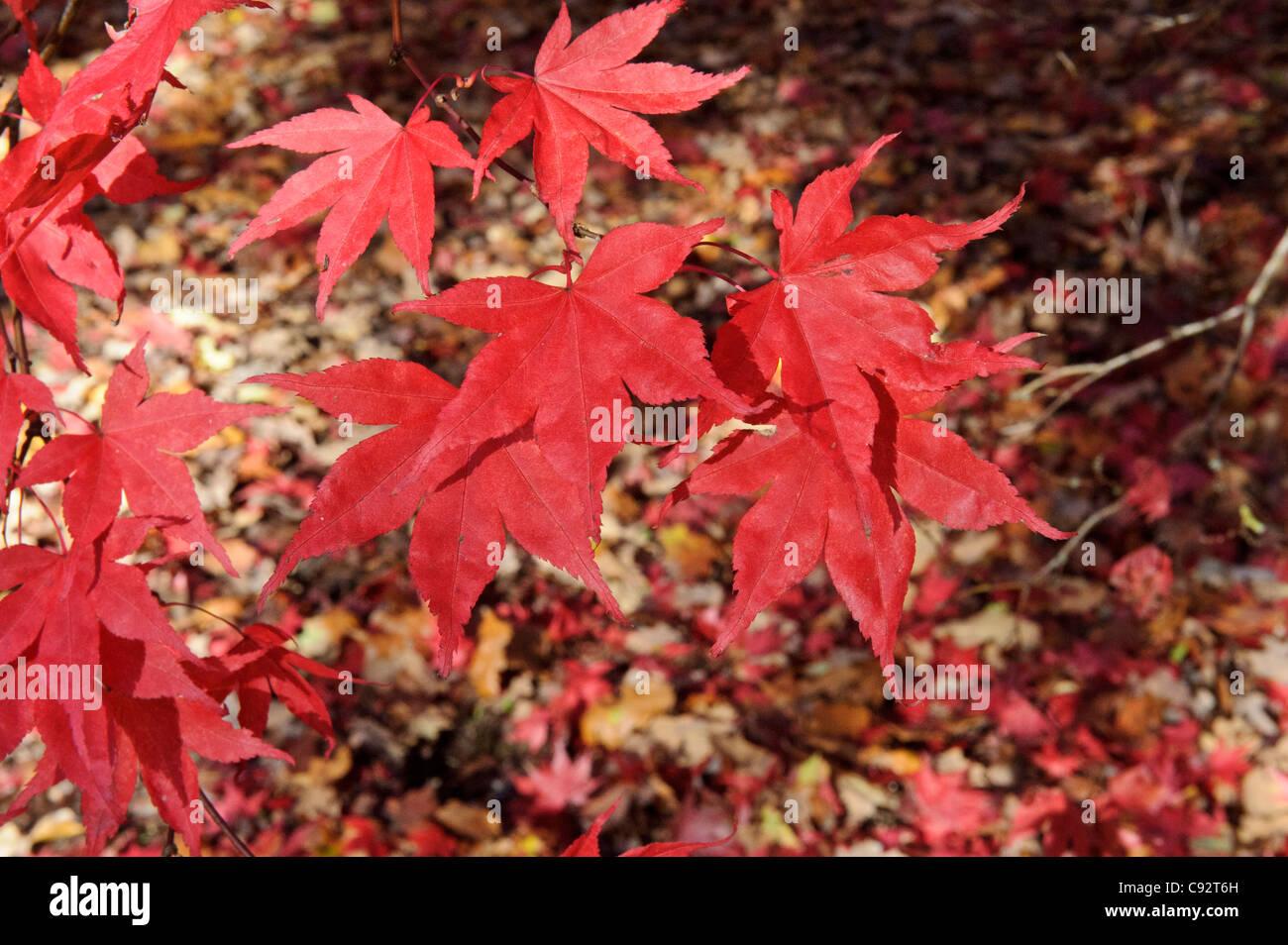 Acer Garden Uk Stock Photos Acer Garden Uk Stock Images Alamy