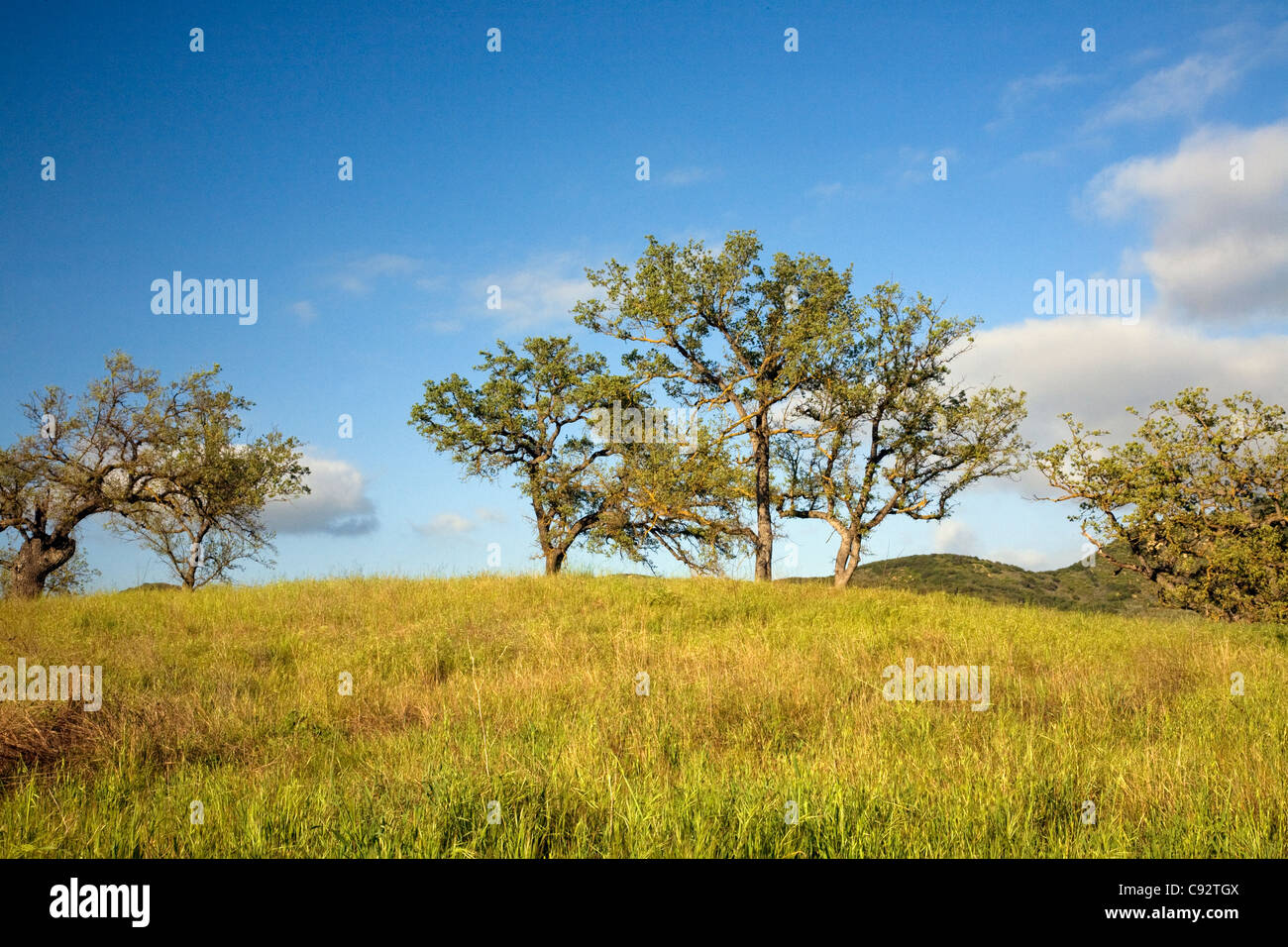 CALIFORNIA - Oak trees growing in the Paramount Ranch area of the Santa Monica Mountains National Recreation Area. - Stock Image