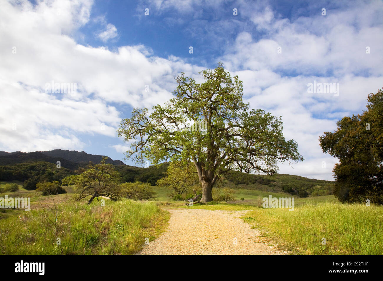 CALIFORNIA - Oak tree growing in the Paramount Ranch area of the Santa Monica Mountains National Recreation Area. - Stock Image
