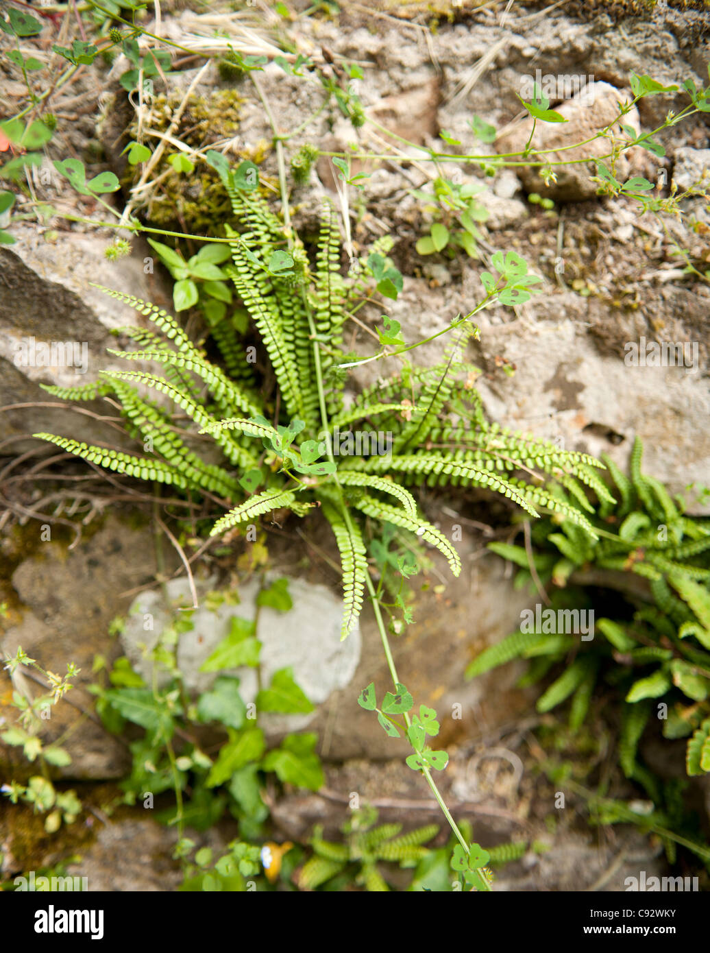 Ferns are often oppotunistic and grow in unusual places such as cracks in walls and thrive in shady damp poisitions. - Stock Image