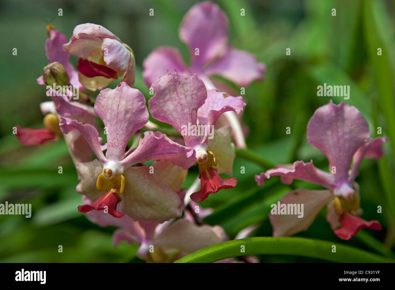 A beautiful orchid of the Vanda species. - Stock Image
