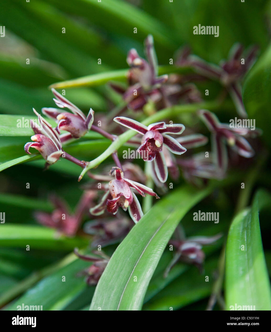 The beautiful orchid Cymbidium aloifolium, which is found in Asia and the Far East. Stock Photo