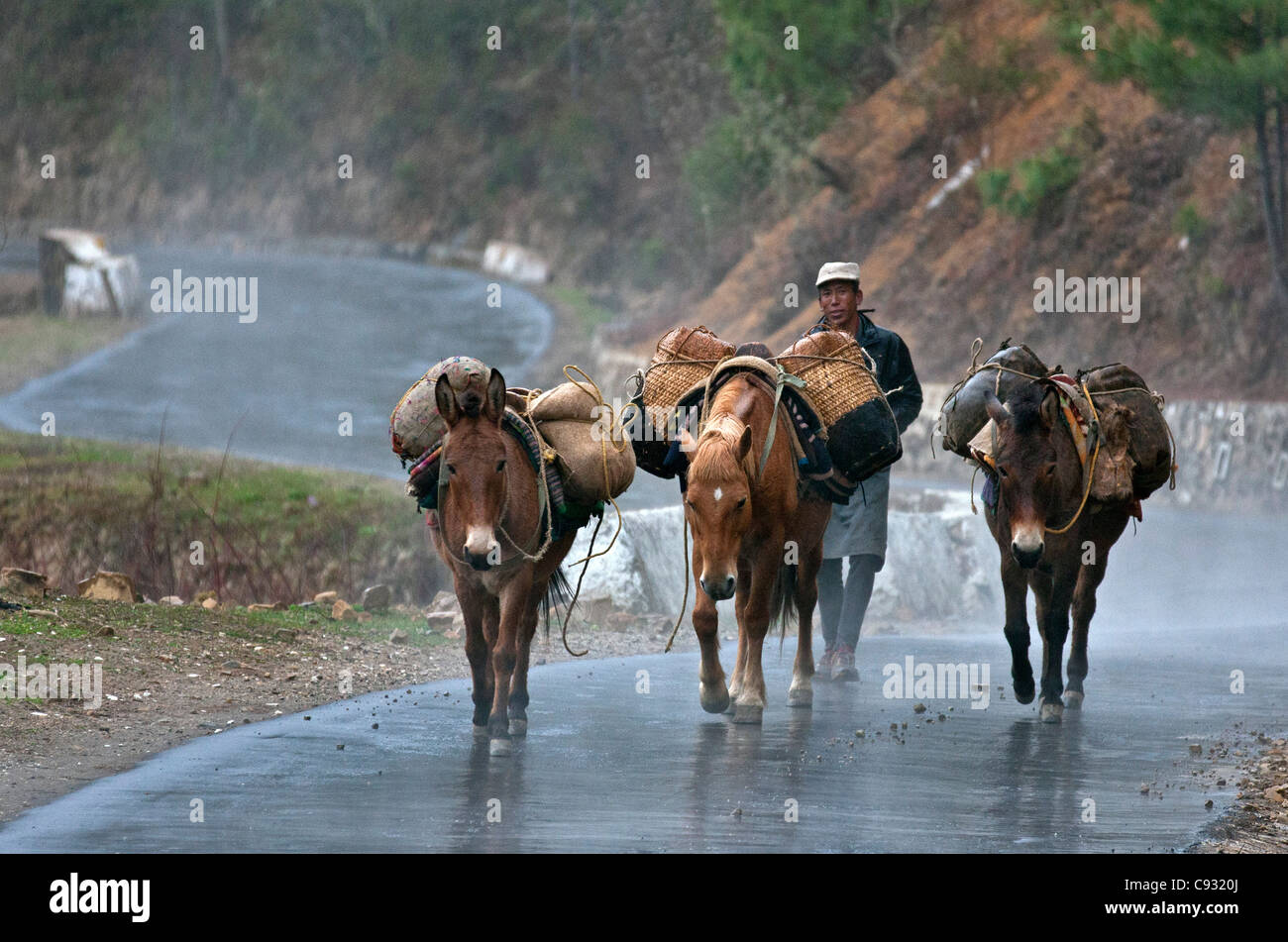 On a wet, windy day, a man drives his pack mules laden with food over the Senghor Pass. - Stock Image